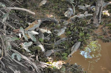 Os peixes mortos à beira do rio. Foto de Antônio Cota